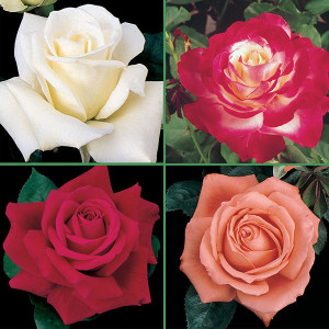 Best of the Best Hybrid Tea Rose Collection