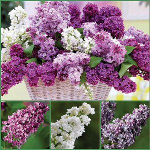 Fragrant Double Lilac Collection