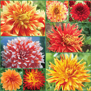 Summer Sizzle Dahlia Collection