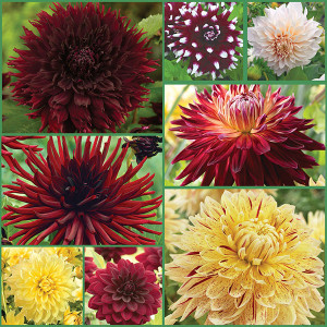 Wine & Cheese Dahlia Collection