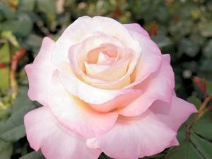 crescendo-rose