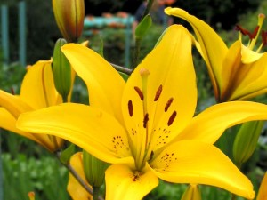 Asiatic Lily 'Gironde'