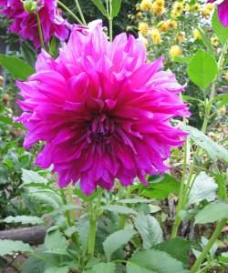 Purple Taihejo