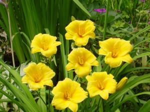 Hemerocallis Yellow