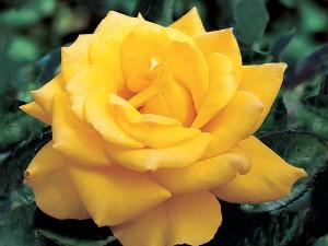 henryfonda_1-rose