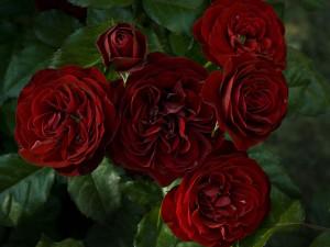 lava_flow-rose