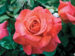 sedona-rose