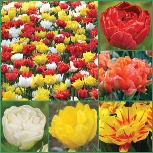 Spring Spice Tulips Galore Collection