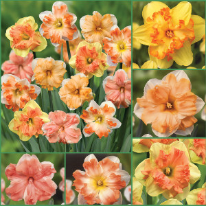 Butterfly Frenzy Exclusive Daffodil Collection